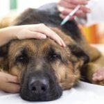 bệnh đường ruột ở chó