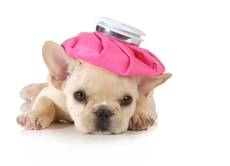 các bệnh thường gặp ở chó con