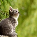 các giống mèo đẹp ở việt nam