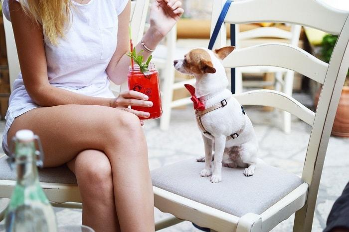 Cách Huấn Luyện Chó Chihuahua