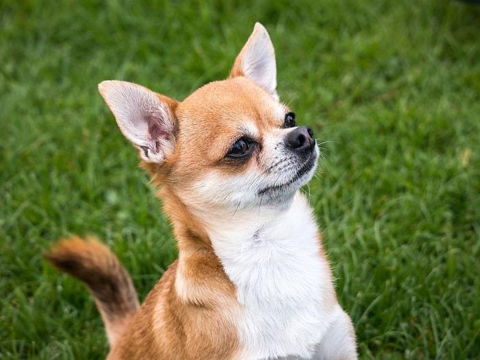 Chăm Sóc Sức Khỏe Chó Chihuahua