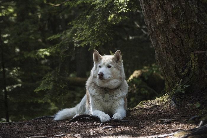 chó Siberian Husky