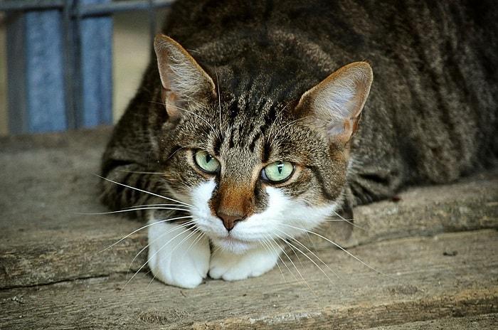 Lựa Chọn Các Giống Mèo Đẹp Ở Việt Nam Hay Là Các Giống Mèo Được Nhập Từ Nước Ngoài