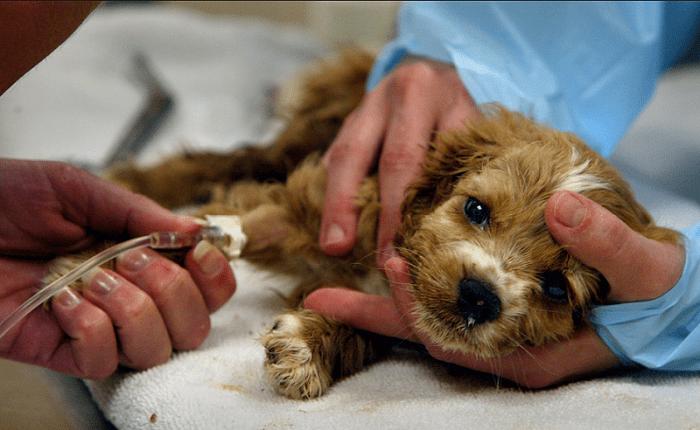 Chữa Trị Đơn Giản Khi Chó Con Bị Tiêu Chảy