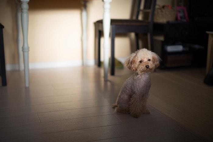 Đặc Tính Chính Của Những Chú Chó Poodle