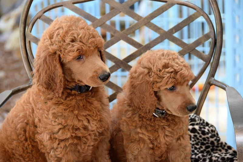 đặt tên cho chó poodle