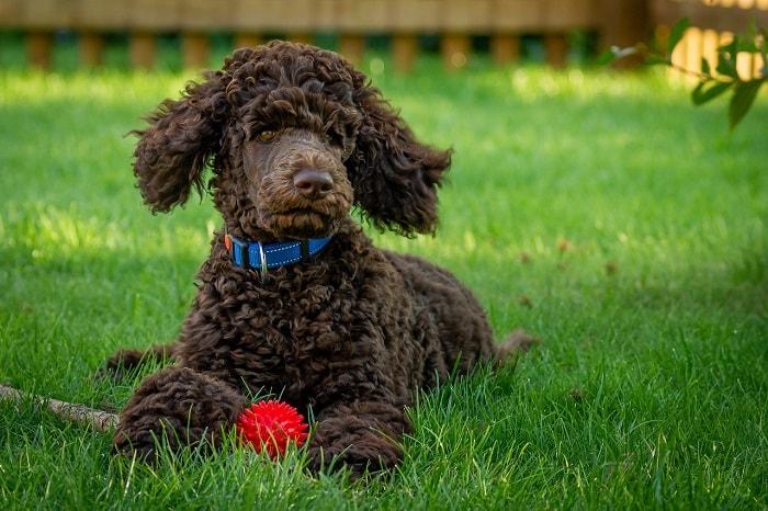 Đặt tên cho chó Poodle theo ấn tượng ban đầu