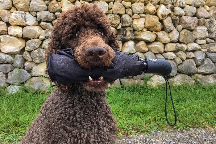 Đặt tên nước ngoài cho chó Poodle
