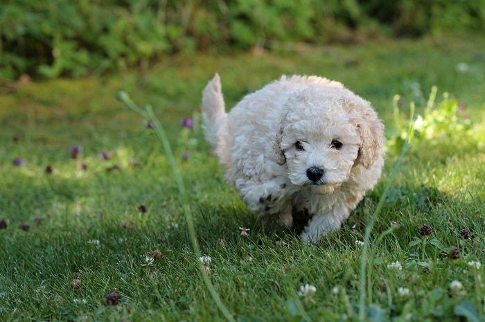 Đặt tên theo màu sắc cơ thể của những chú chó Poodle