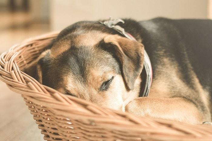 Dấu Hiệu Đi Kèm Với Tình Trạng Chó Bỏ Ăn Mệt Mỏi