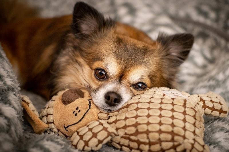 Giá Chó Chihuahua
