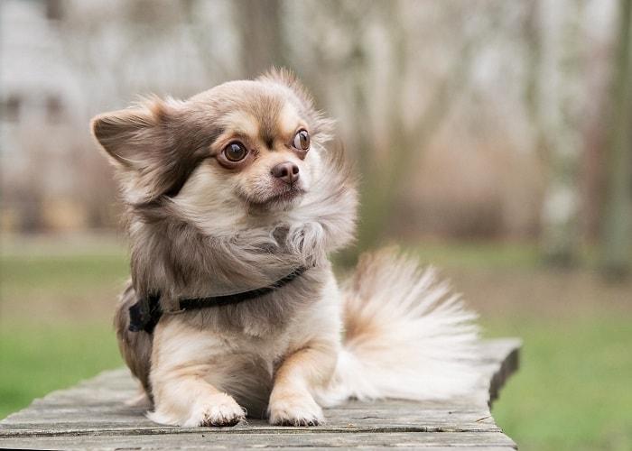 Giá Chó Chihuahua Nhập Khẩu Từ Châu Âu