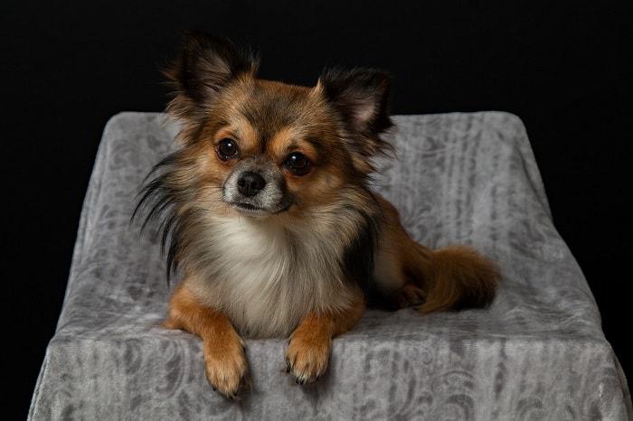 Giá Chó Chihuahua Nhập Khẩu từ Thái Lan