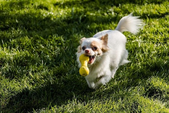 Giá Chó Chihuahua Trong Nước