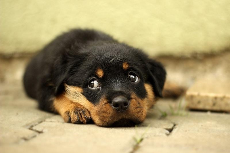 Hình Ảnh Chó Con Buồn