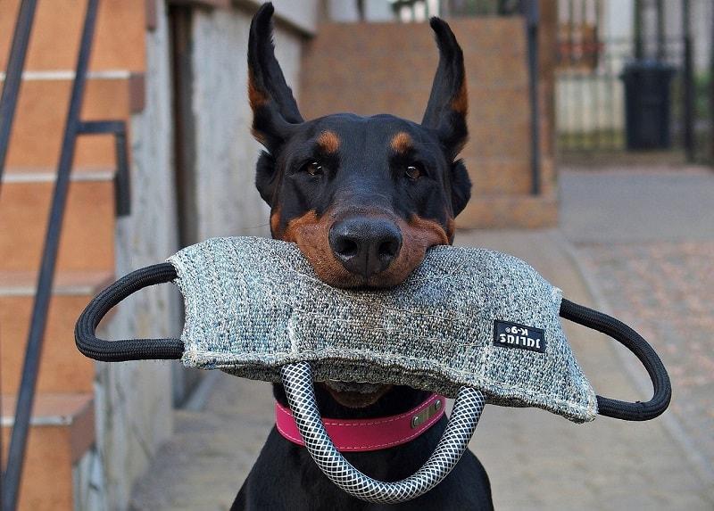 chó thông minh nhất thế giới