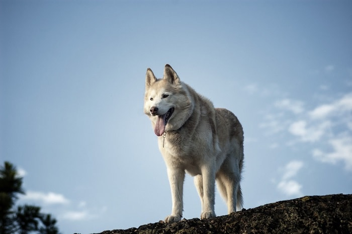 Nên Nuôi Husky Hay Alaska