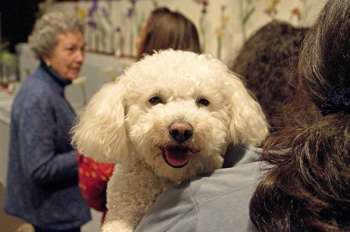 Lưu Ý Cần Quan Tâm Khi Đặt Tên Cho Chó Poodle