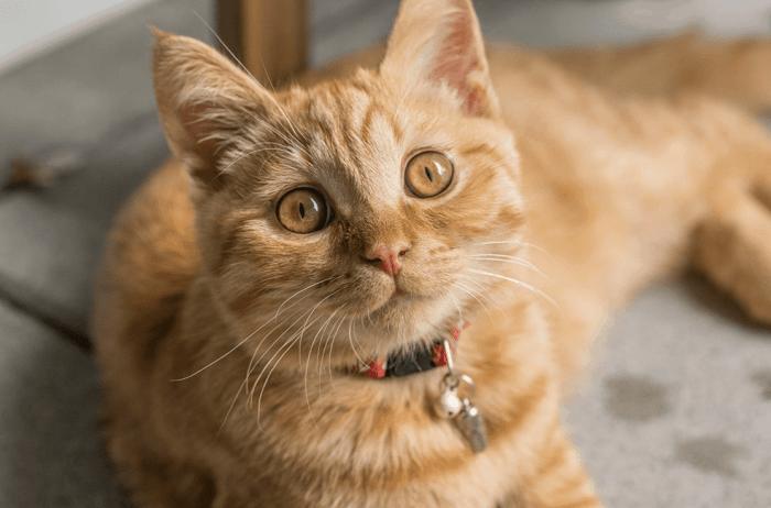 Mèo vàng