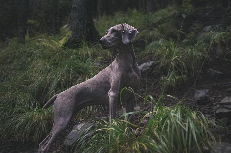 mùa giao phối của chó đực