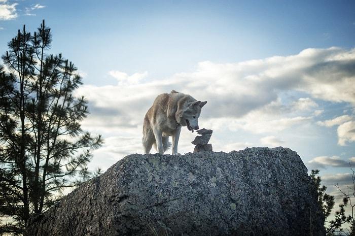 Nguồn gốc xuất xứ của loài chó Siberian Husky