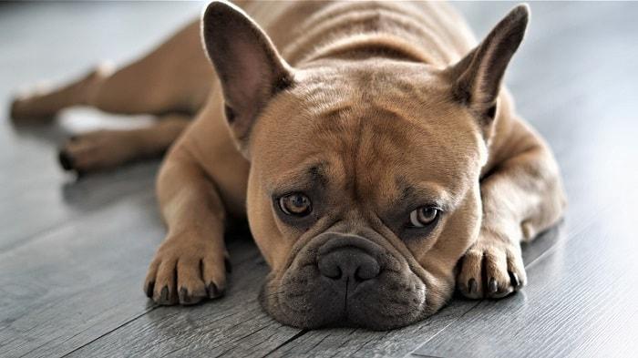 Nguyên Nhân Dẫn Đến Tình Trạng Những Chú Chó Bỏ Ăn Mệt Mỏi
