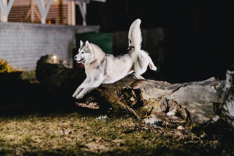 phân biệt alaska và husky