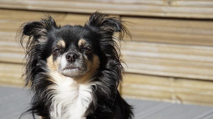 Phòng Ngừa Bệnh Chó Chihuahua