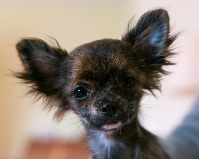 Vệ Sinh Cá Nhân Chó Chihuahua