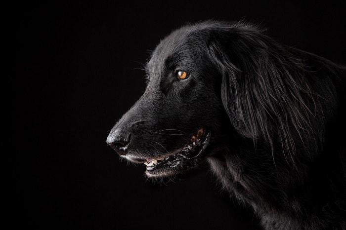 Xuất Xứ Của Giống Chó Mực