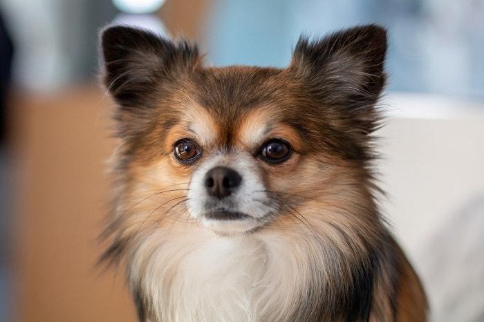 Yếu Tố Ảnh Hưởng Đến Giá Chó Chihuahua