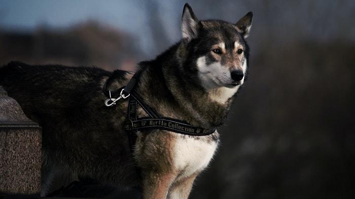 Yếu Tố Phân Biệt Alaska Và Husky