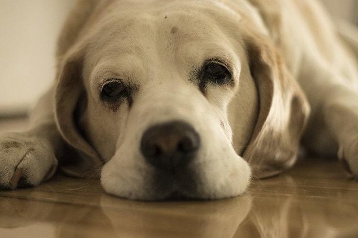 Bệnh Đi Kiết Ở Chó Cưng
