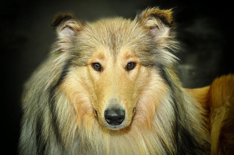 chó đắt nhất thế giới
