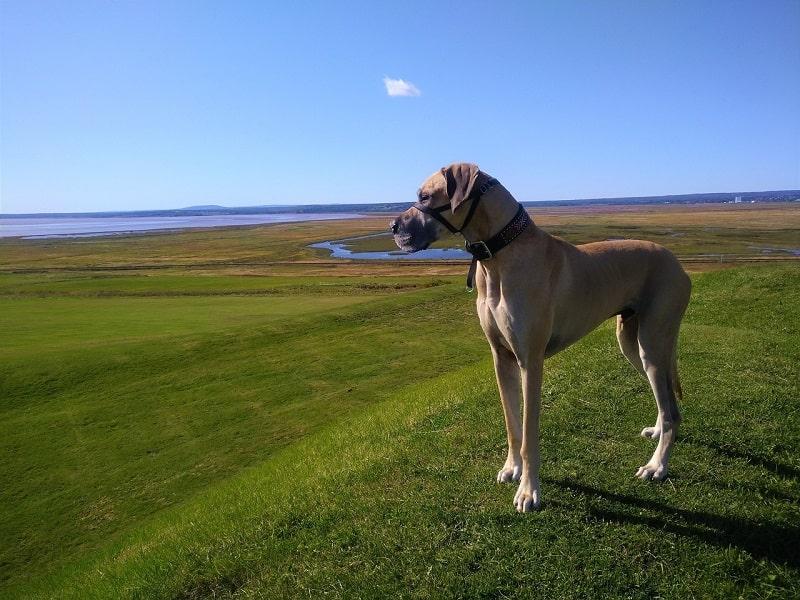 loài chó to nhất thế giới