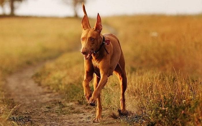 Tính Cách Chó Pharaoh Hound