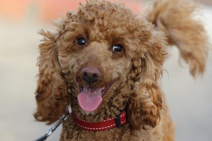 Bảng Giá Chó Poodle