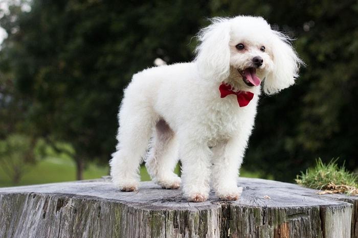 Chế Độ Ăn Uống Của Chó Poodle