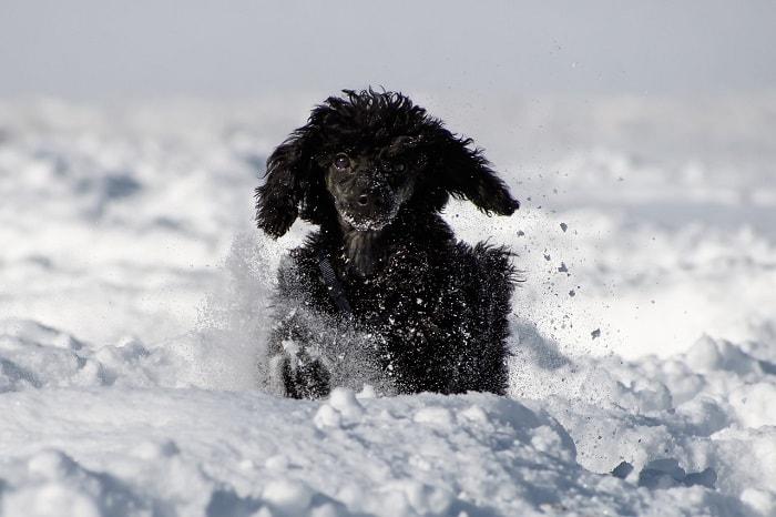 Giá Chó Poodle Nhập Từ Châu Âu