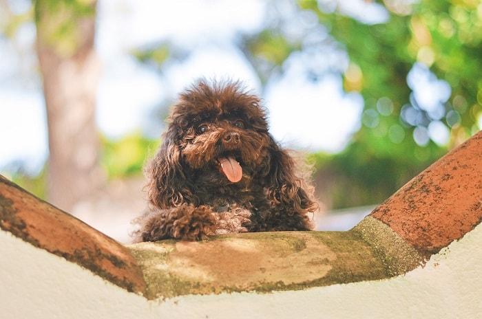 Giá Chó Poodle Nhập Từ Thái Lan