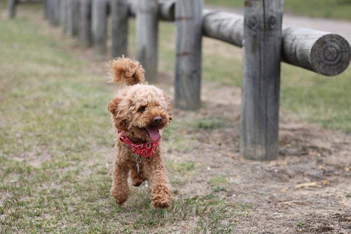Giá Chó Poodle Nhập Từ Trung Quốc