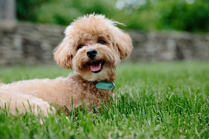 Nguồn Gốc Giống Chó Poodle