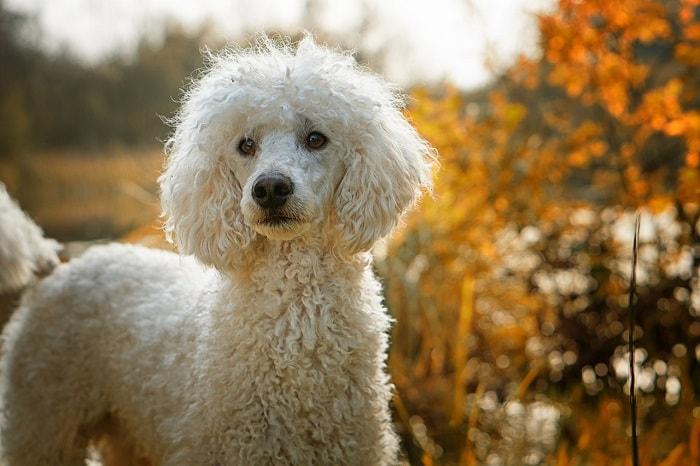 Phân Loại Các Giống Chó Poodle