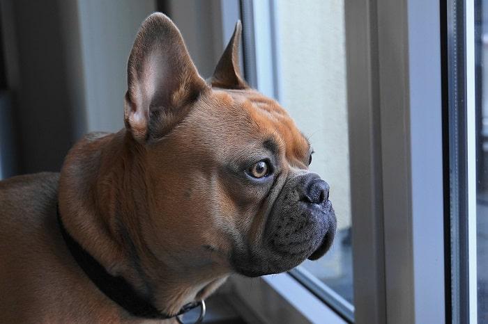 Các Bệnh Thường Gặp Ở Chó Bulldog