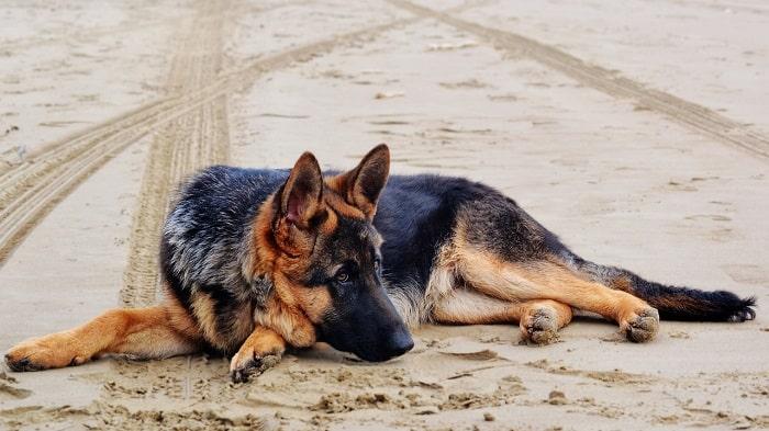Cách Nuôi Chó Becgie Từ 16 Tuần Đến 20 Tuần Tuổi
