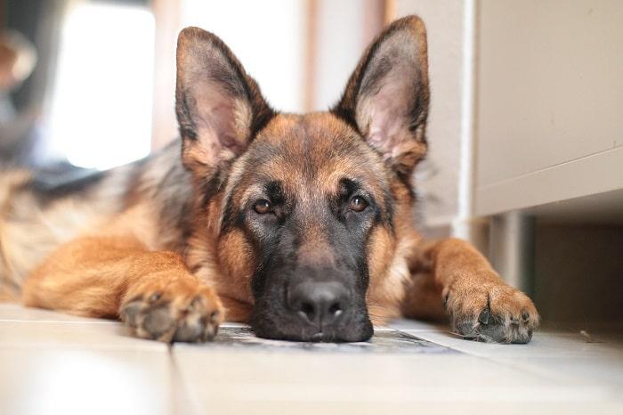 Cách Nuôi Chó Becgie Từ 8 Tuần Đến 12 Tuần Tuổi