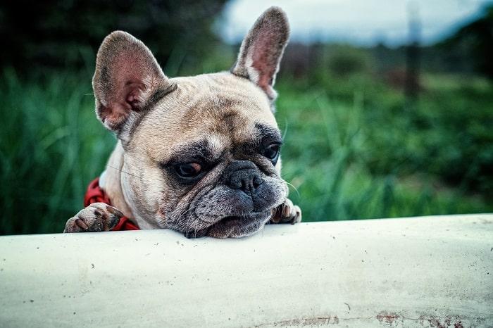 Giá Chó Bulldog Nhập Từ Châu ÂU