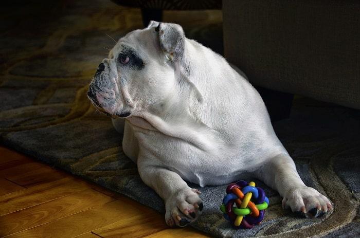 Giá Chó Bulldog Nhập Từ Thái Lan