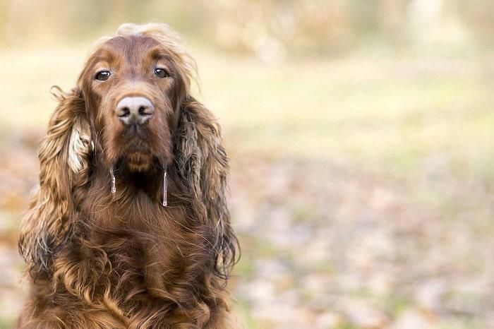 Một Số Bệnh Phổ Biến Khiến Chó Hay Bị Chảy Dãi Nhất