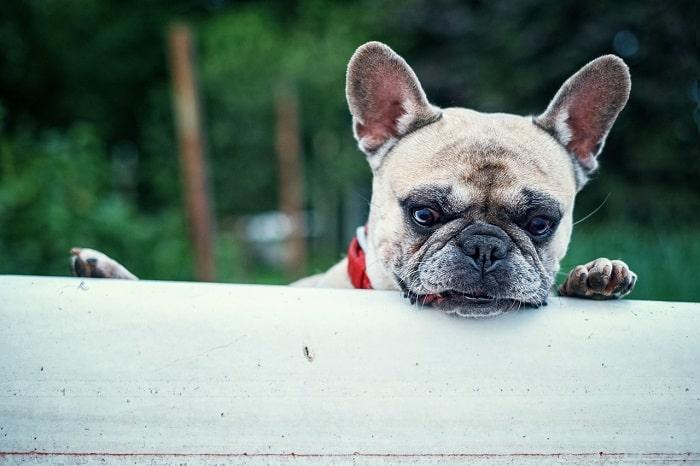 Mua Bulldog Pháp Hay Bulldog Anh